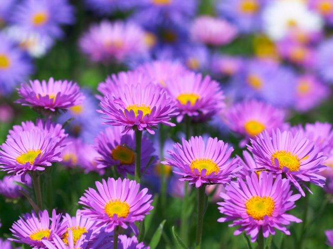 Asters – A Flower For Beginning Gardeners And Not Only