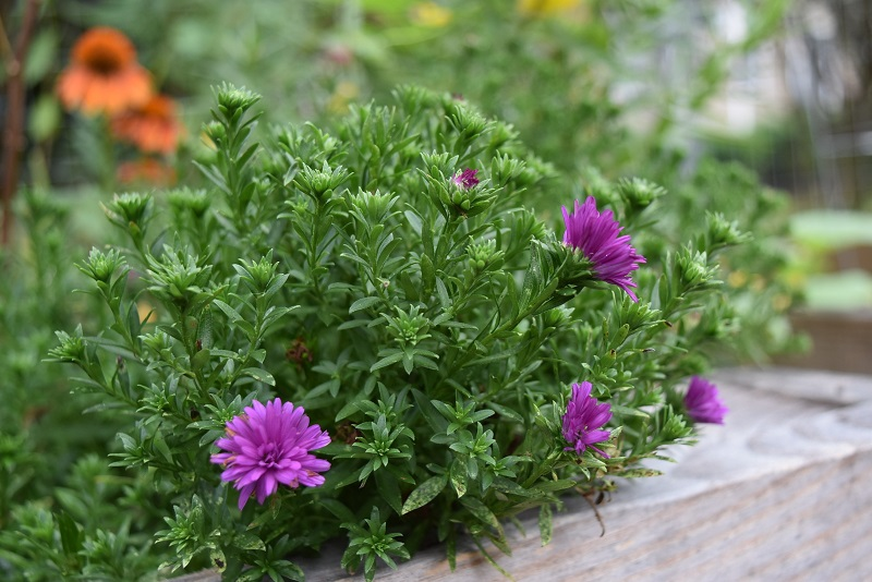 Asters - A Flower For Beginning Gardeners And Not Only