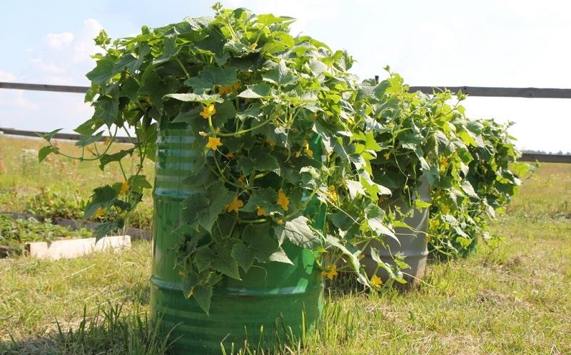 Growing Cucumbers In A Barrel