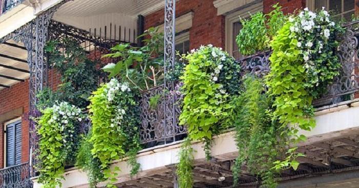 How to Grow Climbing Plants on Balcony