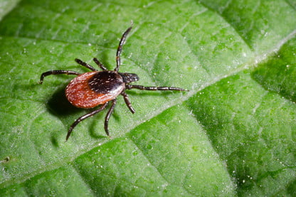 How to Remove a Tick With Lemon Juice